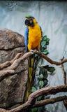 Blauer und gelber Papagei gehockt stockbild