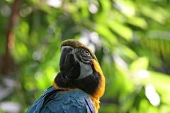 Blauer und gelber Papagei verdreht seinen Stutzen Lizenzfreie Stockfotos