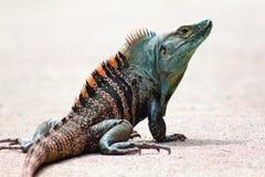 Blauer und orange Costa Rican Iguana mit Haube lizenzfreie stockfotos