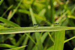 Blauer und schwarzer dünner Damselfly, der auf Grasblatt stillsteht Stockbilder