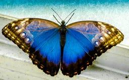 Blauer und schwarzer Schusterschmetterling lizenzfreie stockbilder