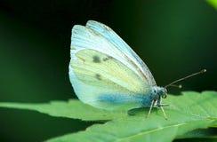 Blauer und weißer Schmetterling, der auf einem Blatt stillsteht Stockfotos