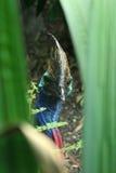Cassowary-Vogel in Australien Lizenzfreies Stockbild