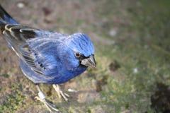Blauer Vogel lizenzfreies stockbild