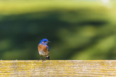 Blauer Vogel 2 Stockbild
