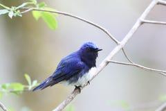 Blauer Vogel auf einer Niederlassung des Baums Stockfoto