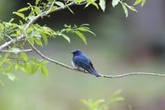 Blauer Vogel auf einer Niederlassung des Baums Stockfotografie