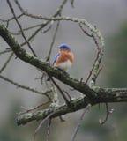 Blauer Vogel auf Zweigen Stockbilder