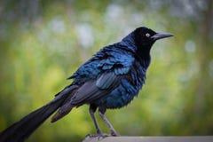 Blauer Vogel bereit zum Flug lizenzfreies stockbild
