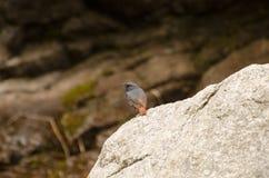 Blauer Vogel, der auf einem Stein sitzt Stockbilder