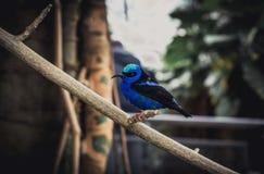 Blauer Vogel, der auf Stock sitzt Lizenzfreies Stockbild