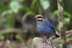 Blauer Vogel Fascinatedl gelb und roter Kopf, der kleines Felsense hockt stockbild