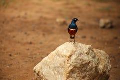 Blauer Vogel mit rotem Kasten auf Stein lizenzfreie stockfotos