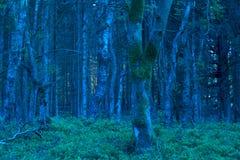 Blauer Wald an der Dämmerung in der Naturlandschaft Eifel Stockbild