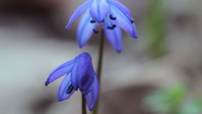 Blauer Wald der Schneeglöckchen im Frühjahr stock video footage