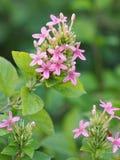 Blauer weiser violetter ixora Blumenblüte Pseuderanthem-andersonii Lindau-ACANTHACEAE auf Unschärfehintergrund lizenzfreie stockfotos
