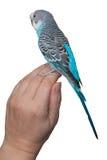 Blauer Wellensittich, der an Hand sitzt Stockfoto