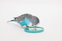 Blauer Wellensittich schaut im Spiegel Stockfotos