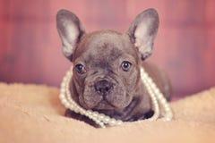 Blauer Welpe der französischen Bulldogge in den Perlen Lizenzfreies Stockfoto