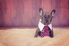 Blauer Welpe der französischen Bulldogge in einer Bindung Stockfotografie