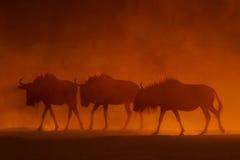 Blauer Wildebeest Stockfotografie