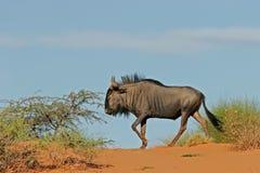 Blauer Wildebeest auf Düne stockfoto