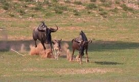 Blauer Wildebeest (Connochaetes taurinus) Stockfotos