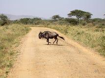 Blauer Wildebeest, der die Straße kreuzt Lizenzfreie Stockbilder