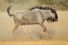 Blauer Wildebeest im Staub lizenzfreies stockfoto