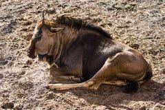 Blauer Wildebeest oder Gnu Lizenzfreie Stockbilder