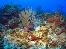 Blauer Zapfen auf einem karibischen Riff Stockfotos