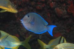 Blauer ZapfenSurgeonfish Stockbild