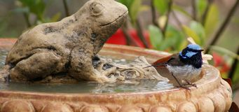 Blauer Zaunkönig auf Vogel-Bad stockbilder