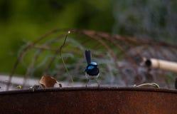 Blauer Zaunkönigvogel, der auf einer alten Trommel stationiert stockbild