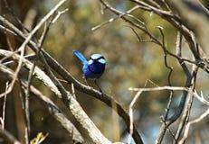 Blauer Zaunkönig-Vogel Lizenzfreie Stockfotos
