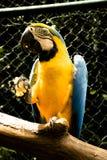 Blaues arara, das in der Gefangenschaft isst lizenzfreie stockfotos