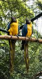 Blaues arara, das in der Gefangenschaft isst lizenzfreie stockbilder