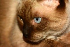 Blaues Auge der Katze Lizenzfreie Stockfotos