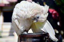 Blaues Auge weißer Keilschwanzsittichpapageiengriff Lizenzfreie Stockfotografie
