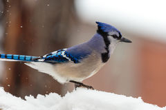 Blaues ay im Schnee Stockfotos