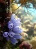 Blaues Bell-Manteltier Lizenzfreie Stockfotos