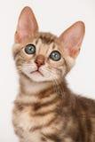Blaues Bengal-Kätzchen Stockbild