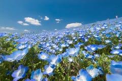 Blaues Blumenfeld, Nemophila stockbild