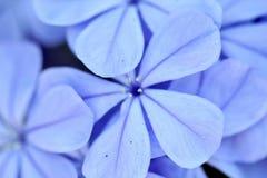 Blaues Blumenmakro Lizenzfreie Stockbilder