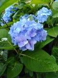 Blaues Blumenunschärfehintergrundtapetenhortensie-Blumenbild stockbild