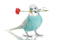 Blaues budgie mit einer Gartennelke stockfotos