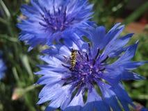 Blaues Centaureacyanus und -biene Stockbilder
