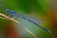 Blaues Coenagrionidae Stockfoto