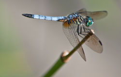 Blaues Dragon Fly-Stillstehen stockbild