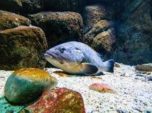 Blaues Fischstillstehen stockbilder